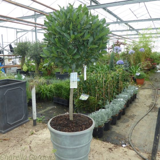 Ready potted 1/2 standard Bay Trees in tall Chelsea planters