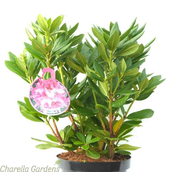 Rhododendron Cosmopolitan Established Plants 50-60cm 7.5 Litre pot.