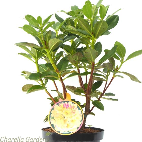 Rhododendron Horizon Monarch Established Plants 50-60cm 7.5 Litre pot.