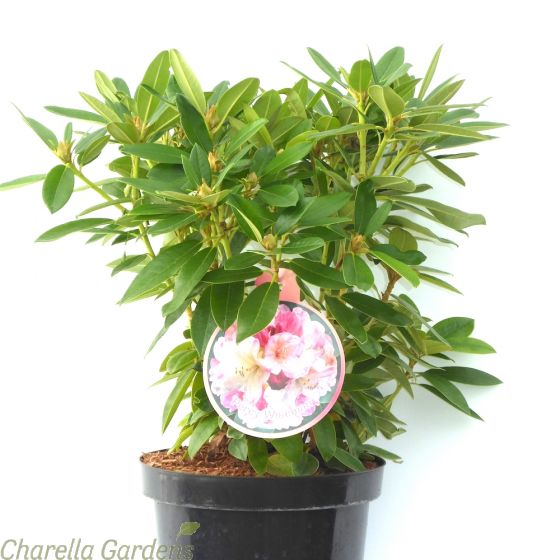 Rhododendron Percy Wiseman: 2 Size Options