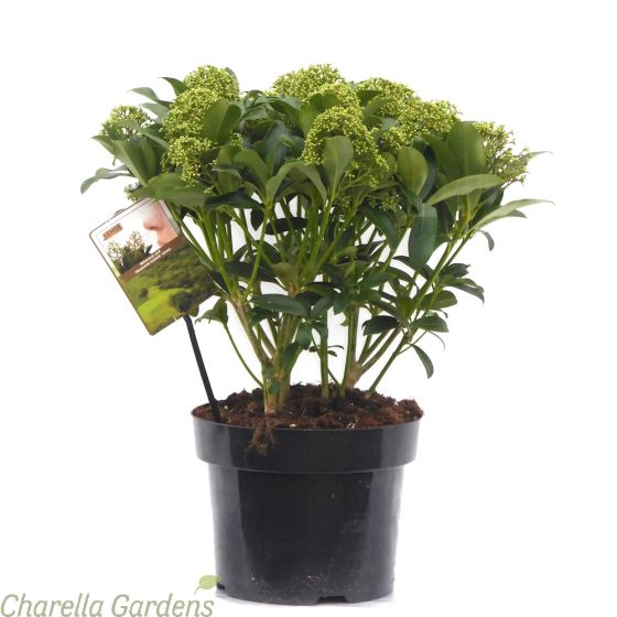 Skimmia Japonica Fragrant Cloud 5 Litre - Established Plants