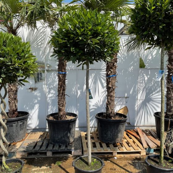 Large Standard Bay Trees 120cm Stem 80/85cm head.