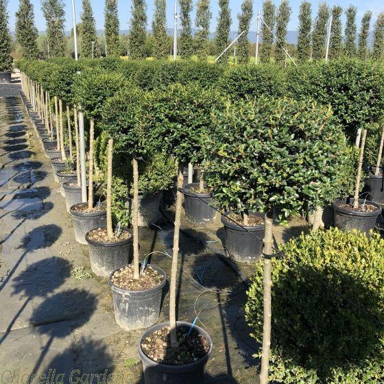 Large Standard Ligustrum plants by Charellagardens.