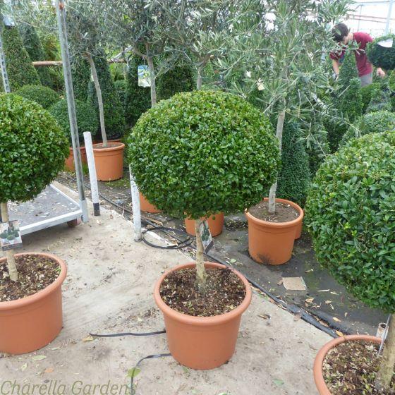 Standard Buxus Plants.18 Litre pot. 90/100cm