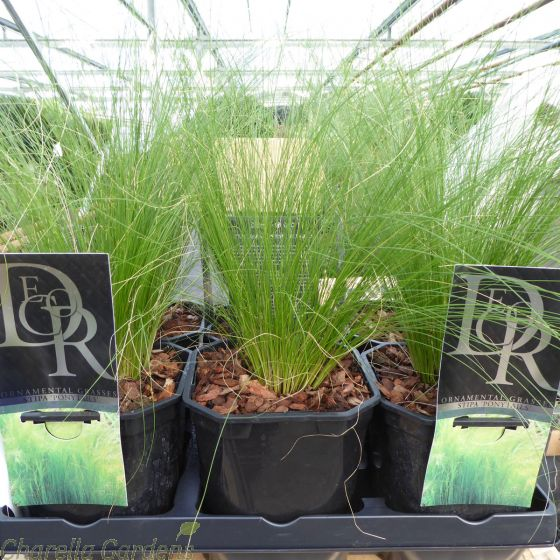 Stipa tenuissima 'Pony Tails' 2 Litre by Charellagardens