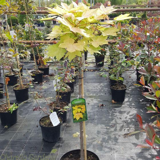 Acer Pseudoplatanus Brilliantissium 60cm stem - May 2016