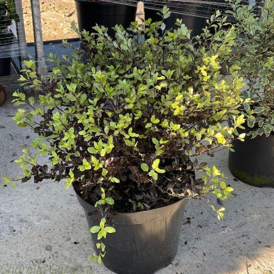 Pittosporum Tom Thumb large plants in 15 litre pots.
