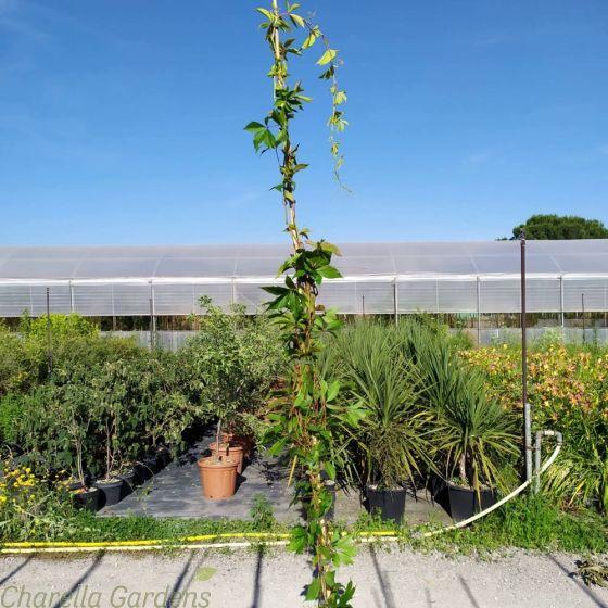 Large Virginia Creeper Parthenocissus Quinquefolia