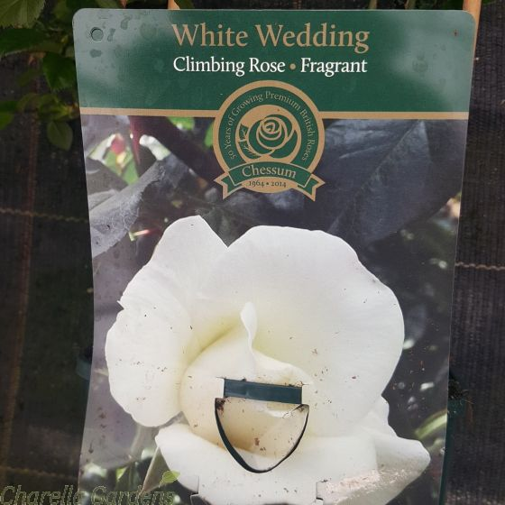 White Wedding Climbing Rose - British Celebration Rose