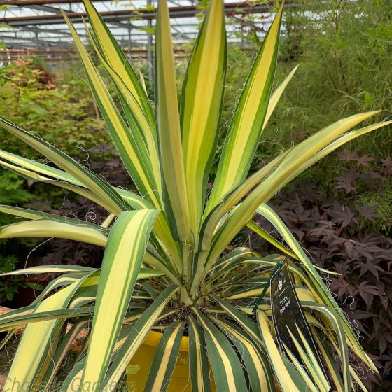 Yucca Filamentosa Colour Guard by Charellagardens
