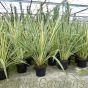 Large Phormium Tenax Variegatum By Charellagardens