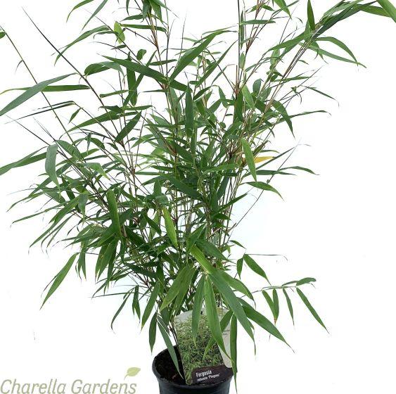 Bamboo Fargesia Robusta Pingwu 2 Litre