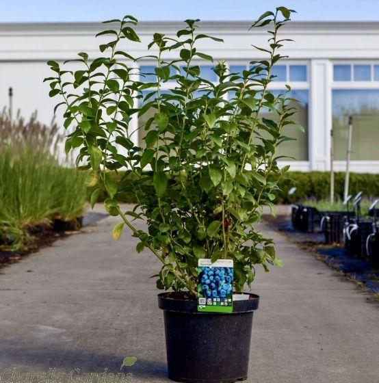 Large Blueberry Plants Blueberry Spartan 10 Litre