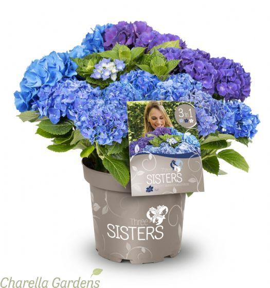 Hydrangea Three Sisters Blue