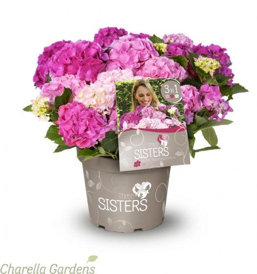 Hydrangea Three Sisters Pink