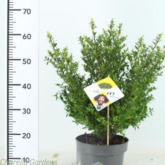 Ilex Crenata Dark Green Hedging Plants 50/60cm. 5 Litre