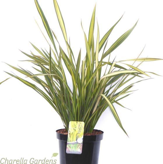 Phormium Tenax Apricot Queen 10 Litre Plants by Charellagardens.