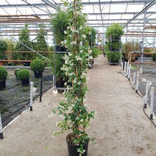 Star Jasmine Trachelospermum Jasminoides - Extra Large plants 10 Litre Pot.