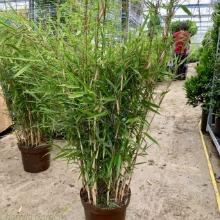 Bamboo Fargesia Robusta Campbell 7.5 Litre Pot - New 2019 Stock