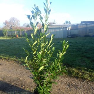 Large Cherry Laurel Plants 20 Litre Pot 125/150cm.