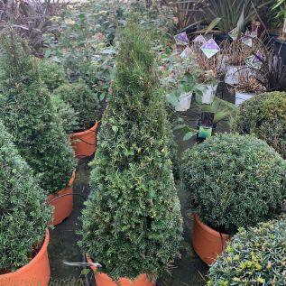 Taxus Topiary Cones.