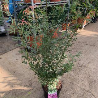Acer Palmatum Jerre Schwartz 7.5 Litre