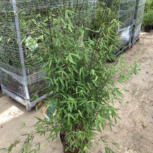 Bamboo Fargesia Jiuzhaigou Number 1