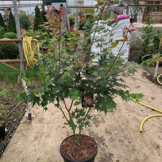 Acer Palmatum Brown Sugar.