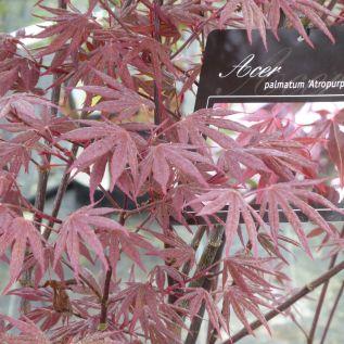 Acer Palmatum Atropurpureum 7.5 Litre