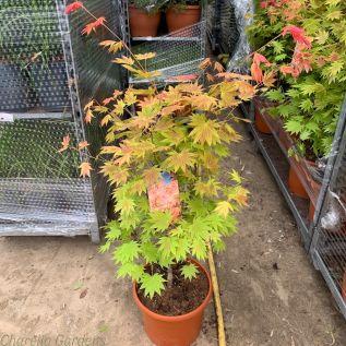 Acer Shirasawanum by Charellagardens 10 litre