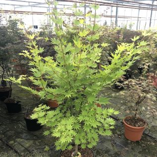 Large Acer Plants Acer Shirasawnum by Charellagardens.