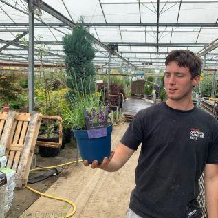 20 English Lavender Plants Angustifolia Hidcote 2L