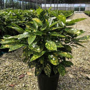 Large Established Aucuba Japonica Variegata 10 Litre 80-100cm