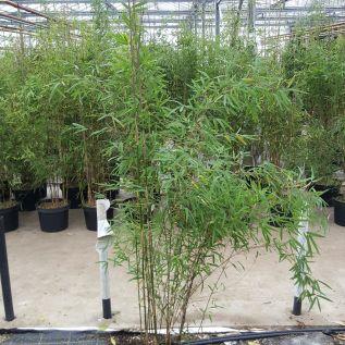 Bamboo Fargesia Jiuzhaigou. Large 10 litre plants