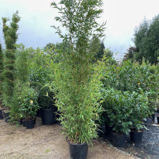 Large Bamboo Phyllosatchys Aurea with delivered heights of approximately 3 metres.