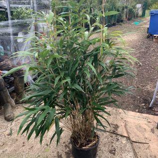 Large Bamboo Plants Pseudosasa Japonica. 150-175cm Tall.