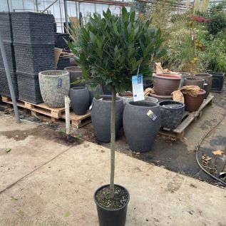 3/4 Standard Bay Trees 110cm tall excluding pot - Head size 45-50