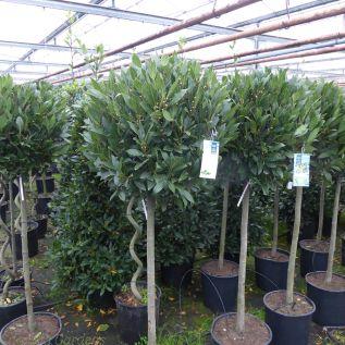 Large Head 3/4 standard bay tree 55-60cm head.
