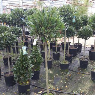 Bay Tree Full Standard 150cm Tall 40-45cm head.