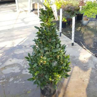 Bay Tree Pyramid 100-105cm. Best Belgian Quality
