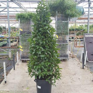 Large Bay Tree Pyramid Plants. 2 Metres tall.