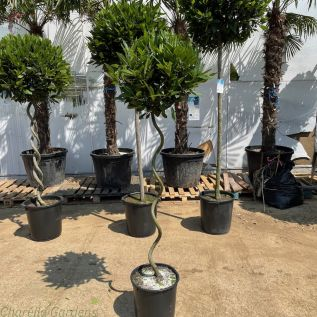 Spiral Stem bay Tree. 135 cm tall excluding pot. Head size 50-55cm.