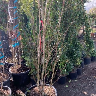 Betula Utilis Jaquemontii Branched 50 Litre. 175/200cm - Large Plants