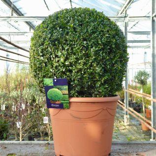 Large Buxus Topiary Box Ball 45cm Diameter 15 Litre Pot.