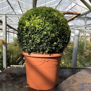Buxus Sempervirens Ball 35cm Diameter. Height Inclusive of pot 50-55cm