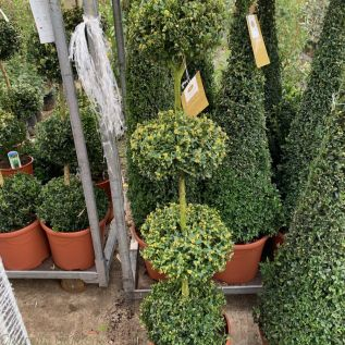 Buxus 4 Ball Topiary Plants - Very Best Quality