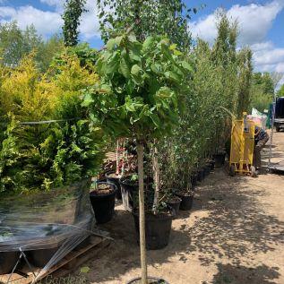 Catalpa Bignonioides Nana - Indian Bean Tree 1/2 Standard 100cm Stem