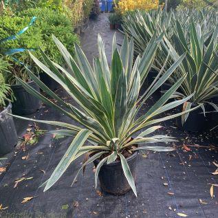 Variegated Outdoor Yucca Plants. Yucca Gloriosa Variegata 10 Litre pot