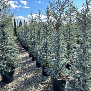 Cedrus Libani Cedar of Lebanon