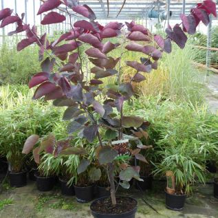 Cercis Canadensis Forest Pansy 10 Litre - August 2018.